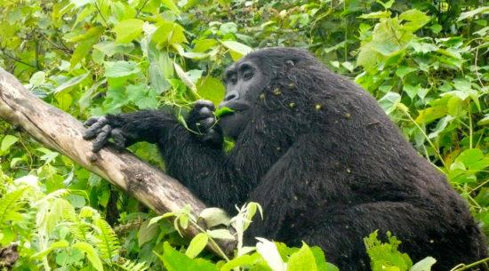 Gorilla di montagna in Uganda e Rwanda