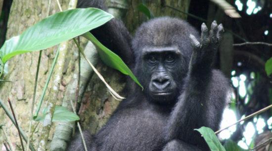 I gorilla di pianura in Congo Brazzaville