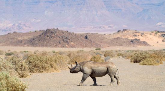 Il rinoceronte nero in Namibia
