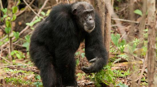 Gli scimpanzé in Tanzania