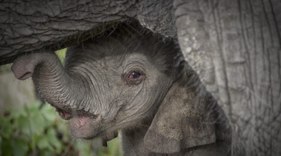 Gli elefanti in Botswana